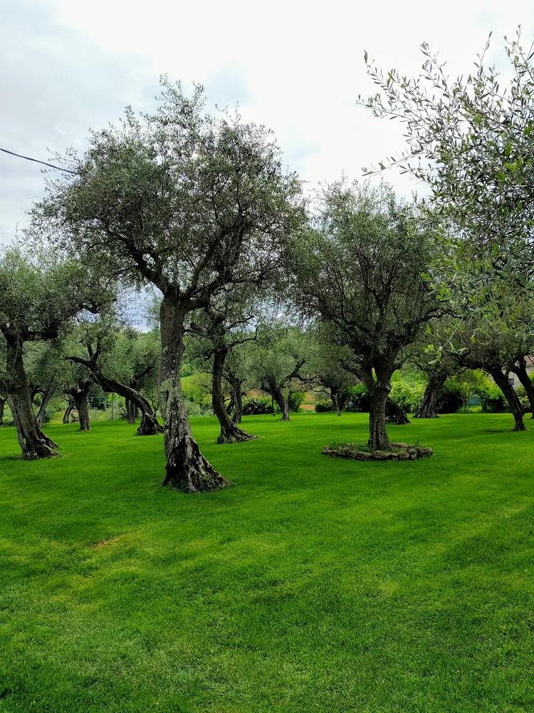 Vallefoglia - olijfbomen